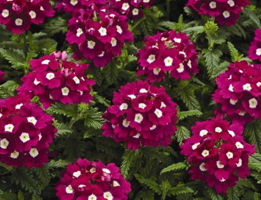 flores para plantar em maio