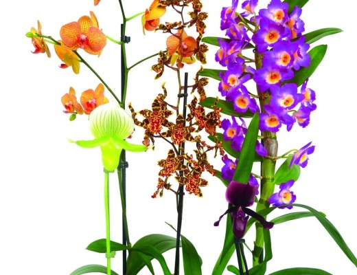 cultivar orquídeas