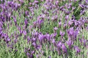 cultivar alfazemas