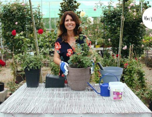 plante roseiras com