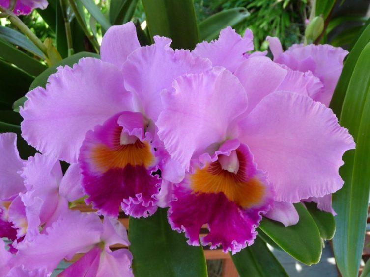 As Majestosas Orquídeas Cattleya