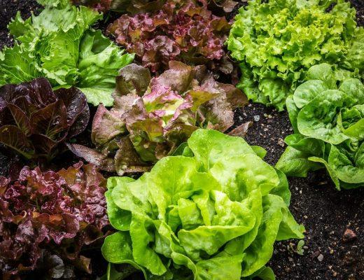 plantar uma salada