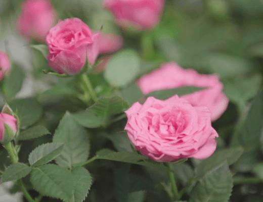 roseiras mini