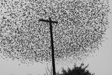 Graciela Iturbide, Poste con pájaros. Imagen cortesía del Centro de Arte Alcobendas