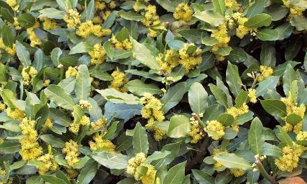El herbario: Laurel