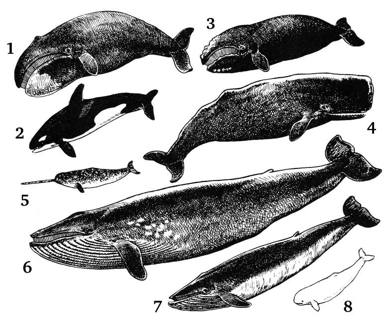 Delfin Cetaceos