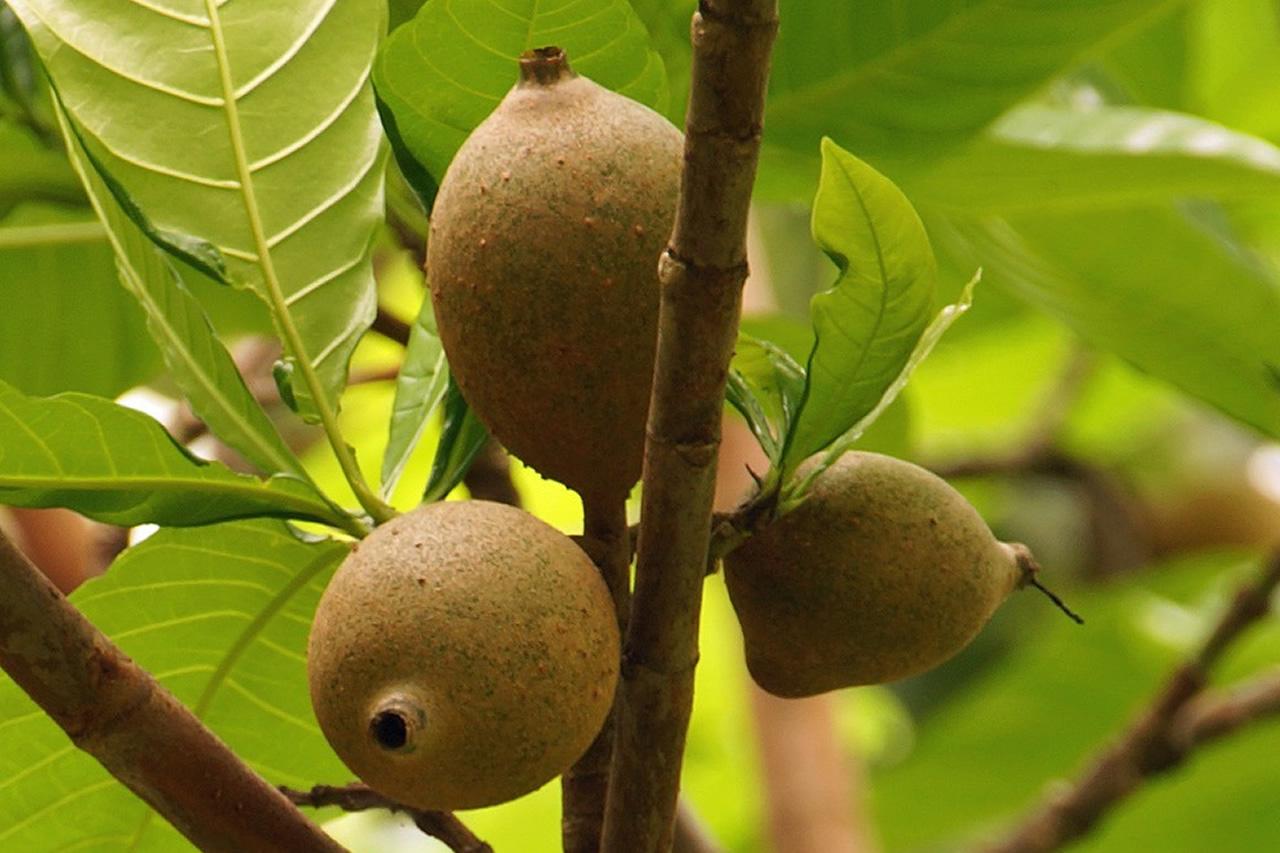 Rondônia poderá produzir jenipapo em larga escala