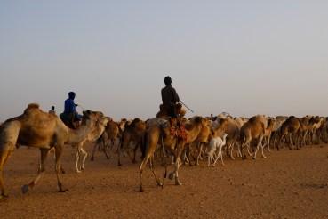 Mauritânia dromedários a caminho do acampamento