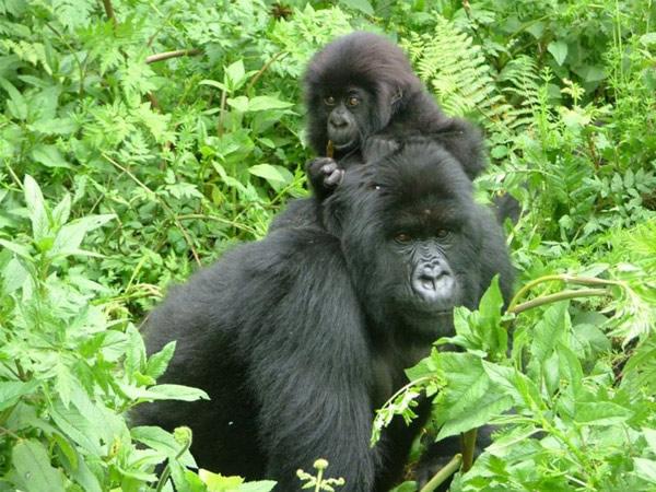Gorilas de Montaña. 10 animales que no verán tus hijos.