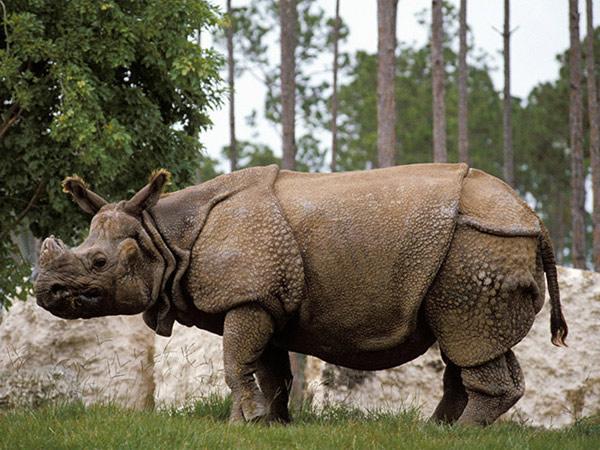 Rinoceronte de Java. 10 animales que no verán tus hijos.
