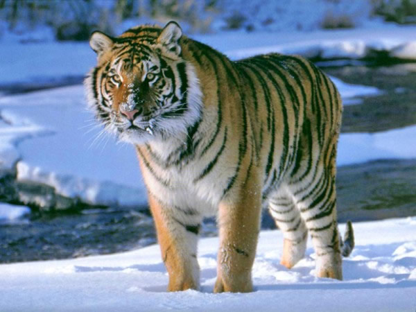 Tigres. 10 animales que no verán tus hijos.