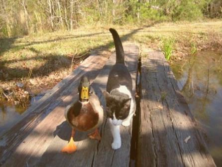 ¿Pueden ser amigos un gato y un pato?