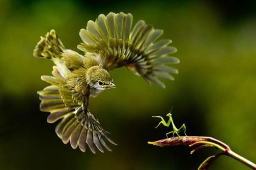 Fotos Increíbles en el Momento Justo - Pájaro a la captura de una Amantis Religiosa