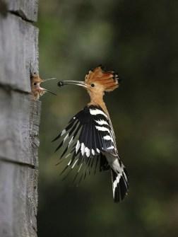 Fotos Increíbles en el Momento Justo - Pájaro alimentando al Nido