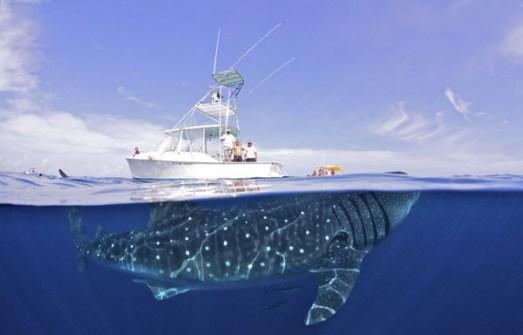 Fotos Increíbles en el Momento Justo - Visita de un tiburón ballena