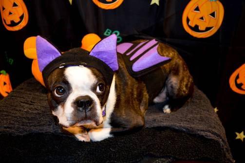 mi-perro-odia-el-Halloween