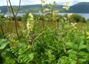 Scottish Hedgerow