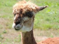 alpaca 6