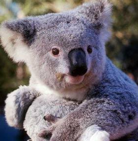 koala_baby_pic