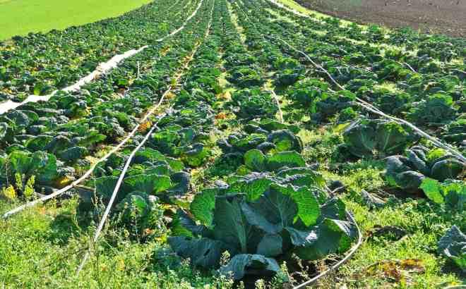 savoy field from a bio farm
