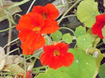 nasturtiums (edible) near the potatoes