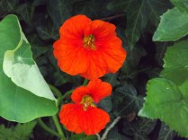 nasturtium behind the potatoes among sunflowers, poppies and ivy