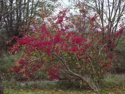 a spindle tree that caught our eye