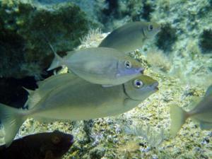 Figure 3. Le poisson-lapin, Siganus rivulatus. Cet herbivore vorace, introduit depuis la mer Rouge grâce au canal de Suez, progresse en Méditerranée, à la faveur du réchauffement des eaux. Il pourrait sérieusement menacer la pêche artisanale en Méditerranée française.