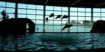 La première et la dernière fois que j'ai vu des dauphins, il y a quelques années, au Shedd Aquarium de Chicago.