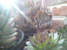 Plantas crasas.