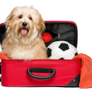 Happy reddish Bichon Havanese dog is sitting in a red traveling suitcase with his soccer ball and toys and waiting for departure - Isolated on a white background