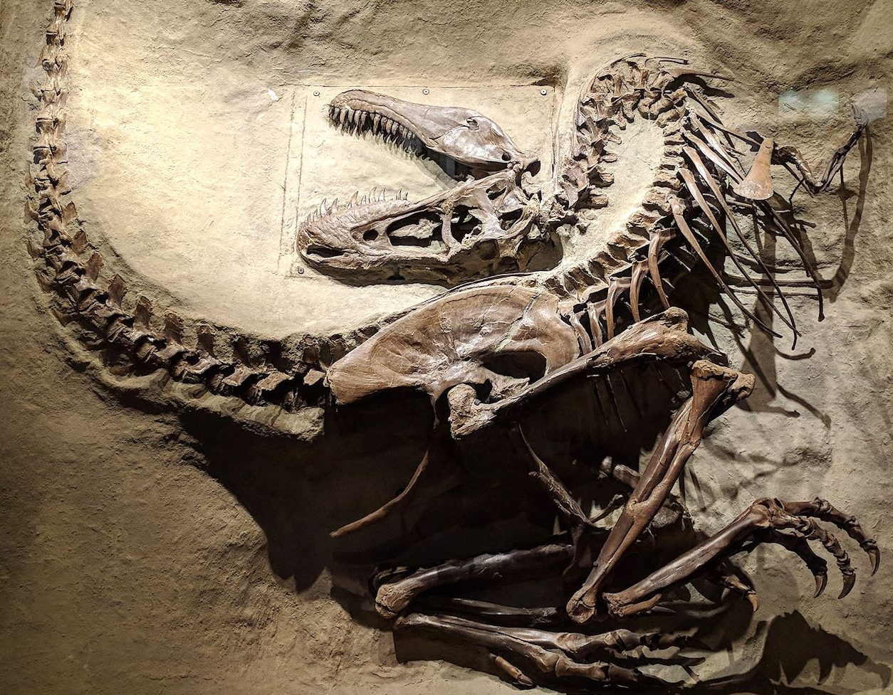 Gorgosaurus specimen on display at the Royal Tyrell Museum.