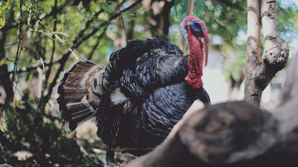The Wild Turkey: The Evolution and History of an American Icon