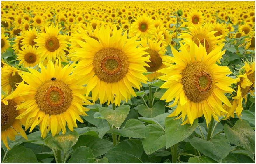 All About Bunga Matahari