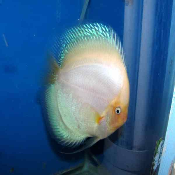 Green Turquoise Discus 2 Inches Rainforest Farms