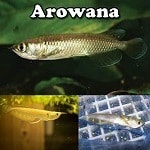 High Quality Arowana