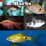 Freshwater Barbs
