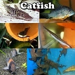 Catfish for aquariums