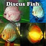 Expert Discus Fish Supplier