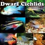 Dwarf Cichlids online