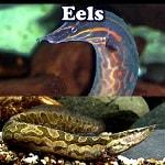 Exotic Aquarium Eels