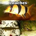 Aquarium Loaches