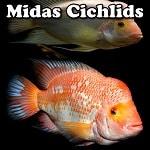 Freshwater Midas Cichlids