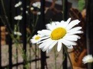 Montana flower