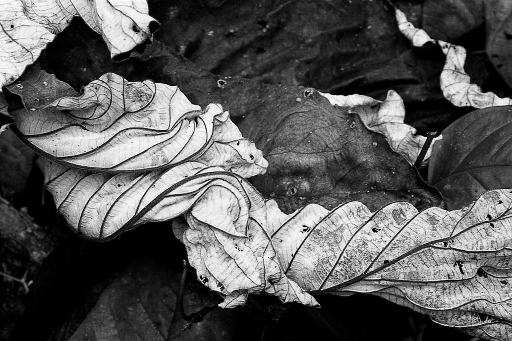 CECROPIA © GUARUMO © Ivonne Hop