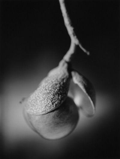 Buckeye Pearl © Roger Aguirre Smith