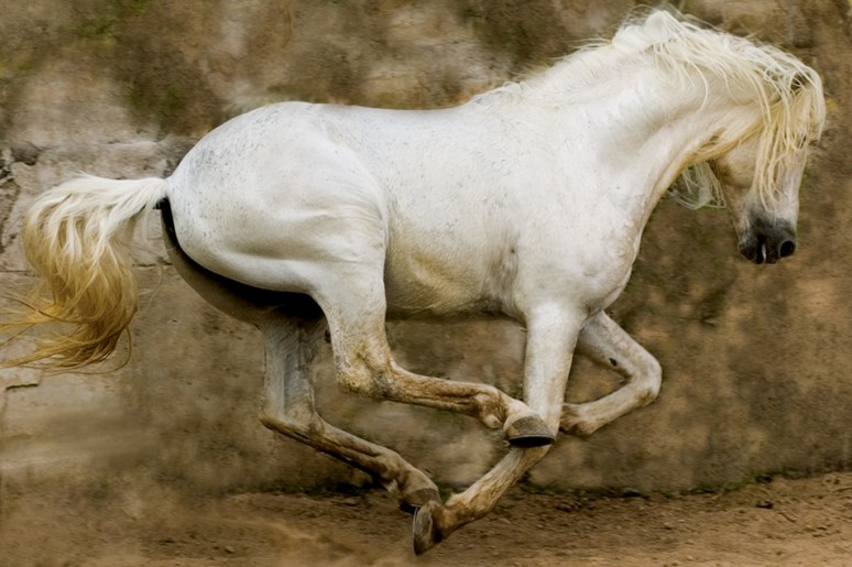White Stallion, Mexico 2004 Arthur Meyerson