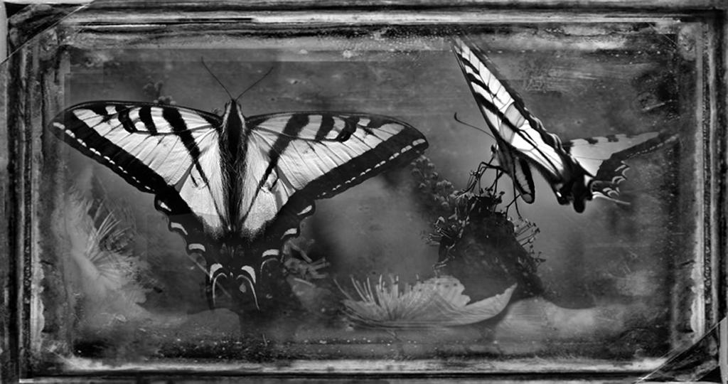 Western Swallowtail © Dianne Yudelson