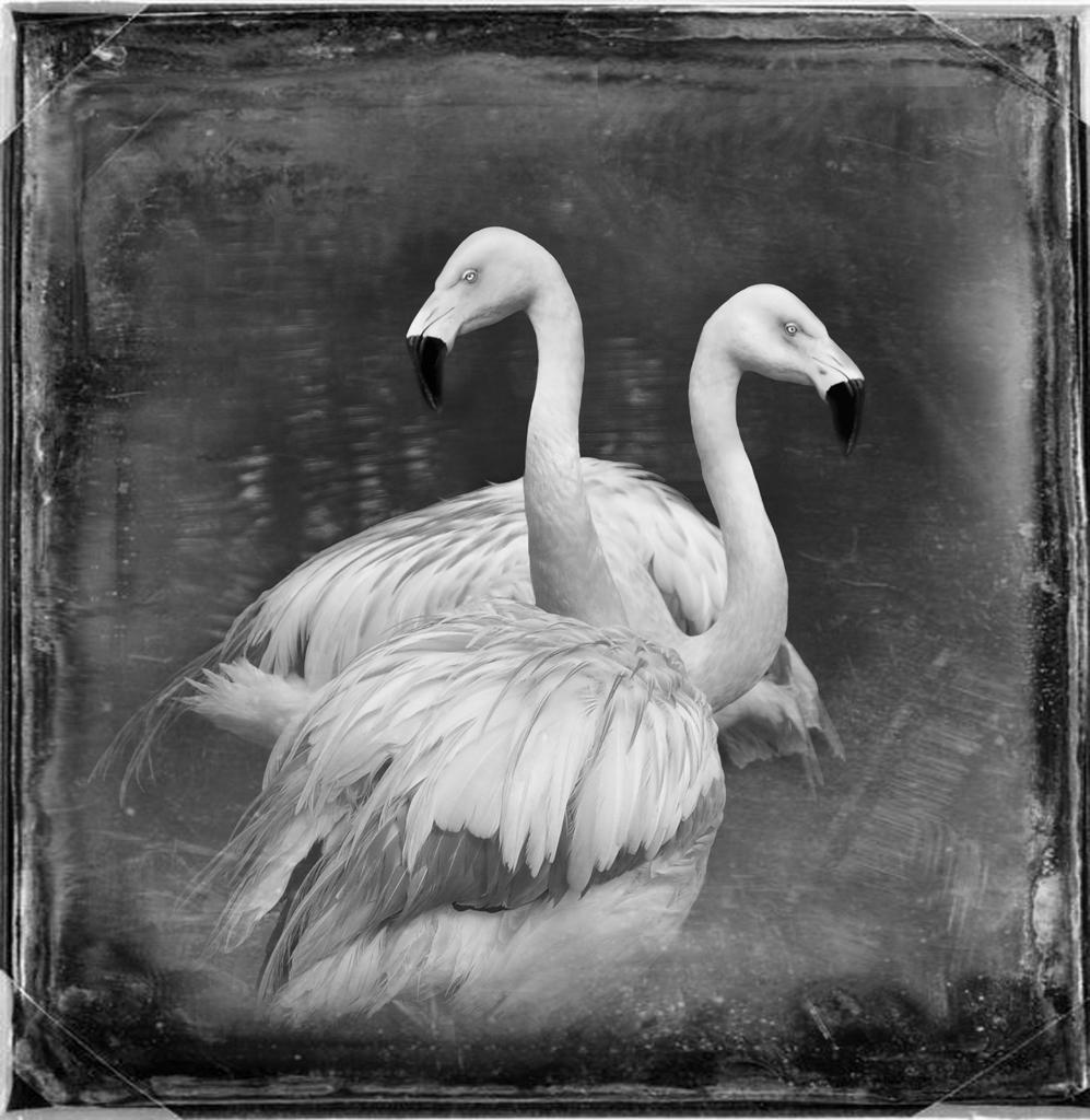 Chilean Flamingos © Dianne Yudelson