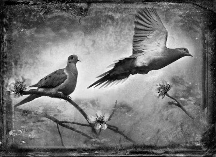 Mourning Doves © Dianne Yudelson
